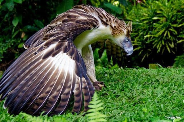[Imagen: aguila-filipinas.jpg]