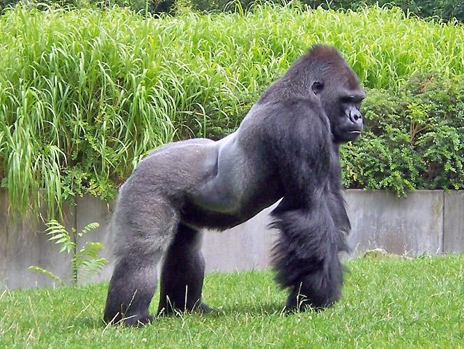 El juego de las palabras encadenadas-http://www.medioambiente.net/wp-content/uploads/gorila-de-monta%C3%B1a.jpg