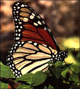 mariposamonarca1