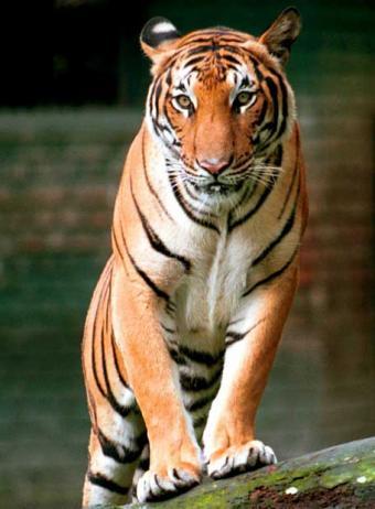 external image tigre1.jpg