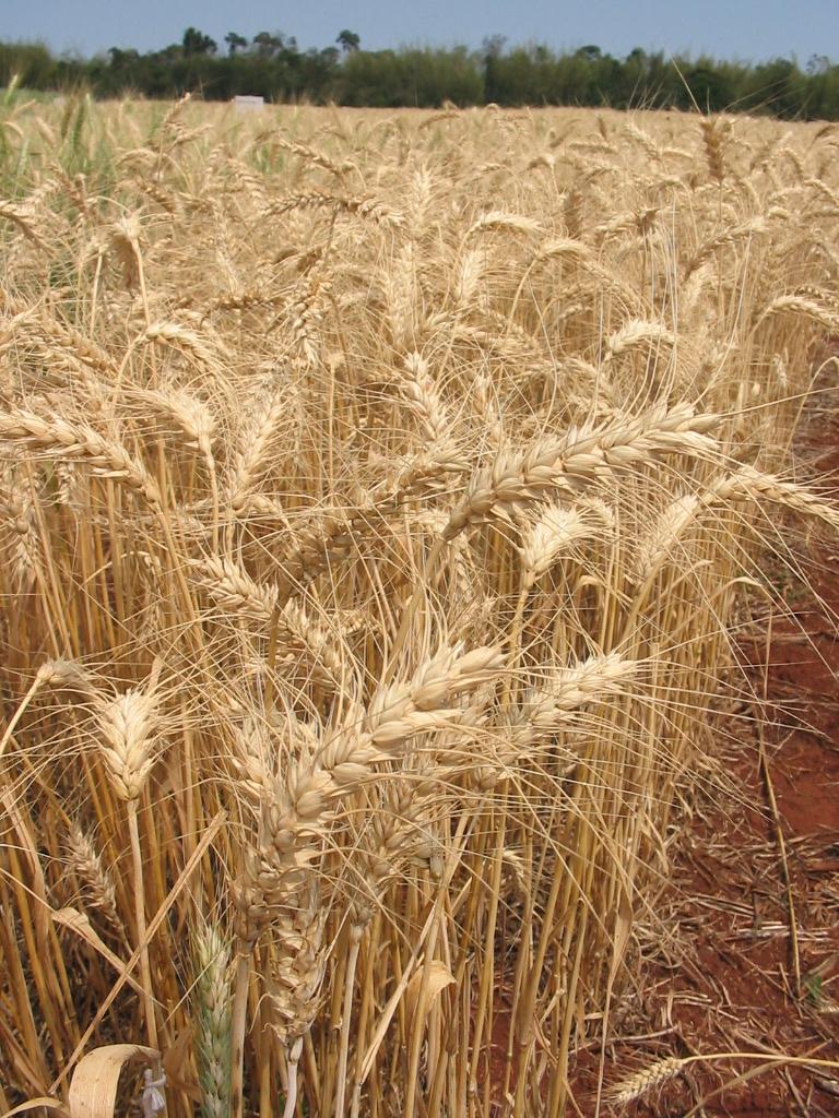 Nueva harina de trigo