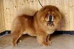 Los 10 perros más costosos de mantener