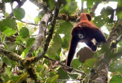 Mono choro de cola amarilla - Medio Ambiente