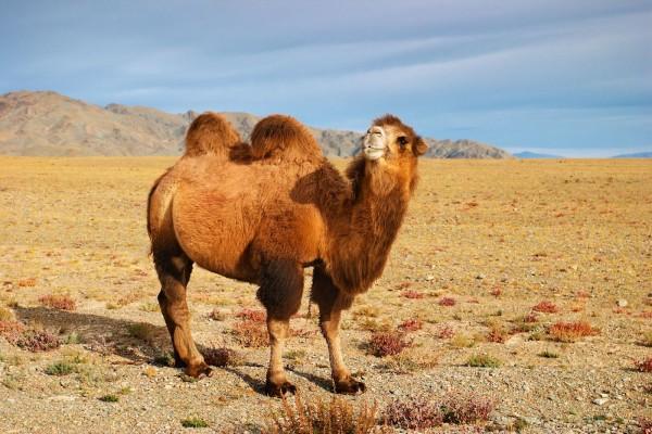 Camello bactriano en el desierto de Mongolia-g