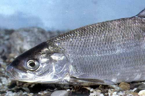 Coregonus bavaricus b