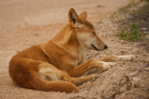 Dingo3