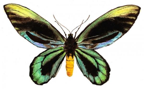 Mariposa Alas de Pájaro Reina Alejandra