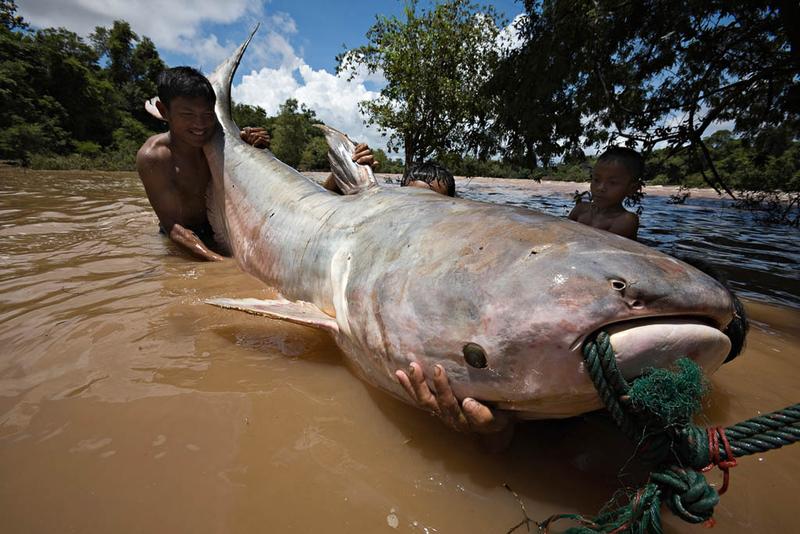 Pez gato gigante del Mekong b