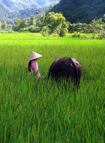 campo_de_arroz
