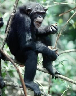 chimpance_oriental