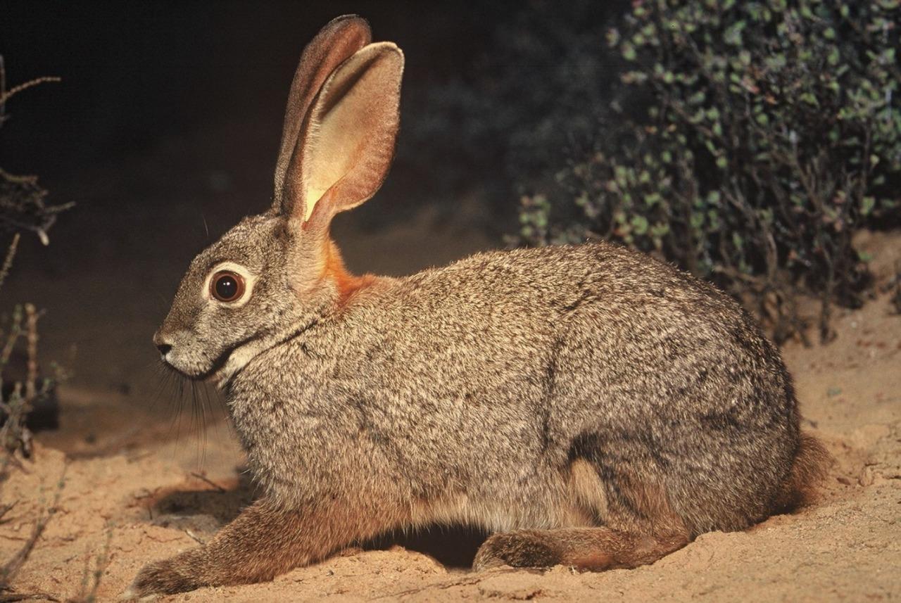 conejo ribereño de Sudáfrica