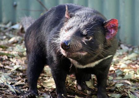 demonio-de-tasmania