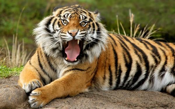 sumatran_dangerous_tiger.psd