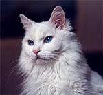 7 razas de gatos con personalidades parecidas a los perros