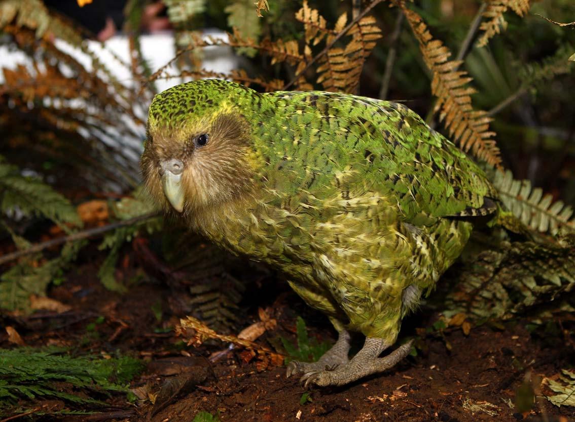 Resultado de imagen para kakapo en peligro de extincion