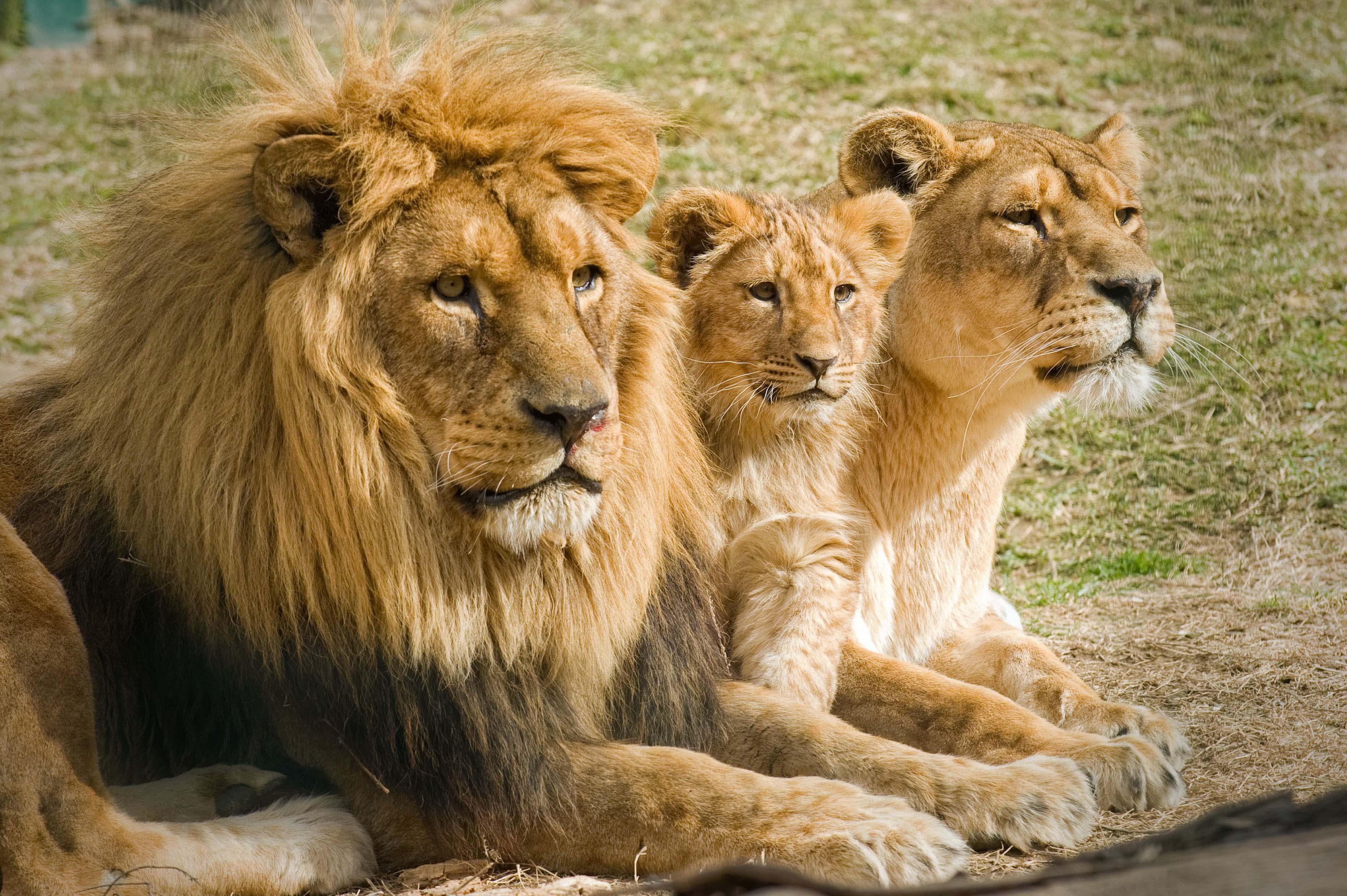 El león sudafricano