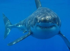 tiburom-shark