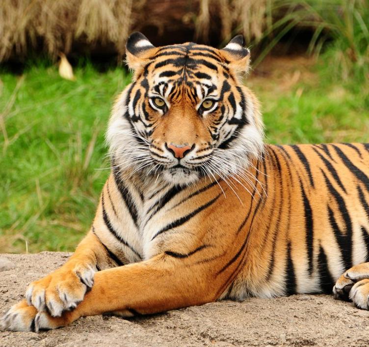 El tigre for Disegni delle tigri